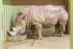 Zoo di rinoceronte della cena Fotografia Stock