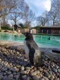 Zoo di Zsl Londra del pinguino immagine stock libera da diritti