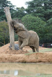 Zoo elephant Royalty Free Stock Photography