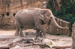 Zoo elephant captive stock photography