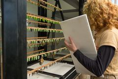 ZOO employee working on rack containing butterfly cocoons in different develoment stages. Preparing exibition royalty free stock image