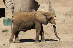 Zoo enclosure with southern African bush elephant Stock Photos