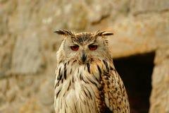zoo för bali owlstående fotografering för bildbyråer