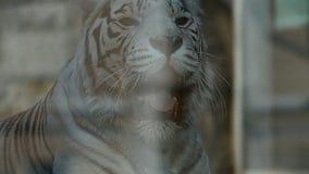 zoo för white för novosibirsk ståendetiger stock video