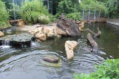 Zoo foka w wodzie Fotografia Royalty Free