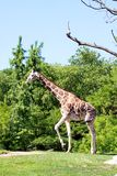 Zoo Giraffe Royalty Free Stock Photography