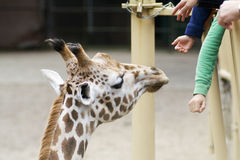 Zoo giraffe Stock Images
