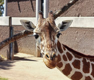 A Giraffe in its Zoo Enclosure Royalty Free Stock Images