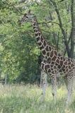 Zoo Giraffe Stock Image
