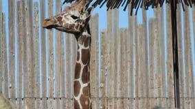 Zoo giraffe stock footage