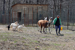 Zoo goat. Daily food for goats at the zoo in Bucharest - the capital of Romania Stock Photo