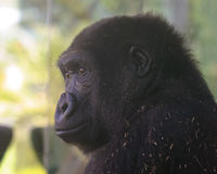 A Zoo Gorilla Watches from its Enclosure Stock Image