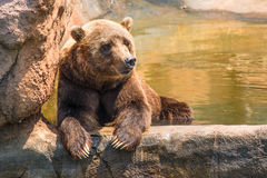 Zoo grizzly bear chilling. In water royalty free stock images