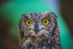 Zoo, härlig uggla med intensiva ögon och härlig fjäderdräkt Arkivbild