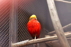 At zoo. Image of golden pheasant sits on perch Royalty Free Stock Photography