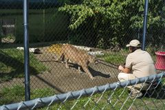 Free Zoo Keeper Crouched Down To Coax A Mountain Lion Up To A Fence For Feeding Time At Cat Royalty Free Stock Photos - 166995748