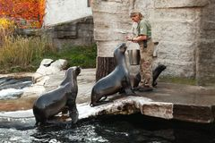 Zoo keeper feeds sea lions royalty free stock photos