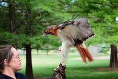 Zoo Keeper With Red Tail Hawk Stock Image