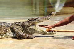 Zoo keeper in Thailand put his hand into the jaws of a crocodile Royalty Free Stock Photography