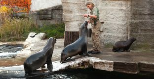 Zoo keeper of the Vienna Zoo feeds sea lions. Vienna, Austria - November 3, 2015: Zoo keeper of the Vienna Zoo feeds sea lions with fresh fish royalty free stock photo