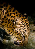 Zoo leopard drinking water Royalty Free Stock Images