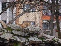 Zoo Lion Dozing auf Felsen stockbilder