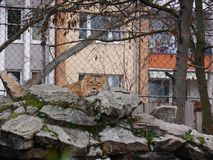 Zoo Lion Dozing on Rocks stock images