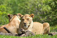 Zoo Lions Royalty Free Stock Photos