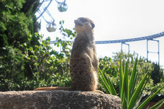 Zoo meerkat looks Stock Photos