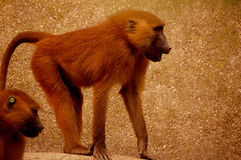 Zoo monkey Stock Images
