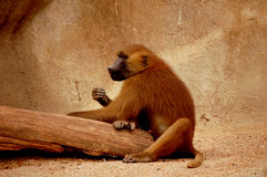 Zoo monkey Stock Images