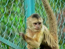 A zoo monkey. Hanging in the field Royalty Free Stock Photos