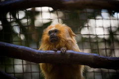 Zoo national : Lion Tamarin d'or (rosalia de Leontopithecus) Photographie stock libre de droits