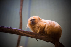 Zoo national : Lion Tamarin d'or (rosalia de Leontopithecus) Image stock