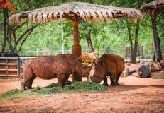 Zoo nel parco nazionale - rinoceronte bianco dell'azienda agricola di rinoceronte immagini stock libere da diritti