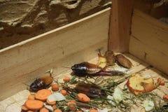 Zoo in Opole, Madagascar cockroach Stock Photos