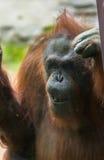 Zoo Orangutan Stock Image