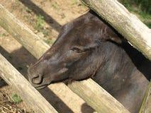 Zoo Park Poppi Italy : black sardinian donkeys Stock Photos