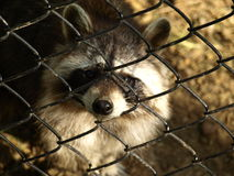 Zoo Park Poppi Italy : raccoon Stock Photo