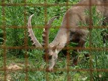 Zoo Park Poppi Italy : steinbock Stock Photos