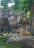 Zoo parkowy lew Fotografia Stock