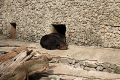 At zoo. Photo of brown bear is tired Royalty Free Stock Photos
