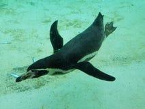 Zoo Pinguin Zsl London lizenzfreies stockfoto