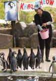 Zoo pracownik karmi pingwiny Obrazy Stock