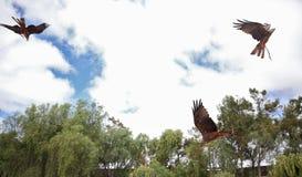 Zoo Rancho Texas, Lanzarote, Kanarische Inseln adler Lizenzfreies Stockfoto