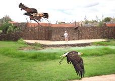 Zoo Rancho Texas, Lanzarote, Kanarische Inseln adler Stockfotos