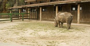 Zoo rhino grazing on Royalty Free Stock Image