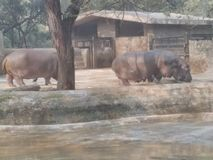 Zoo ride. These hippos are at the zoo in delhi royalty free stock image