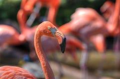 Zoo rosa di Oklahoma City dei fenicotteri immagini stock libere da diritti
