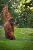Zoo San Diego - orangutan Royalty Free Stock Photography